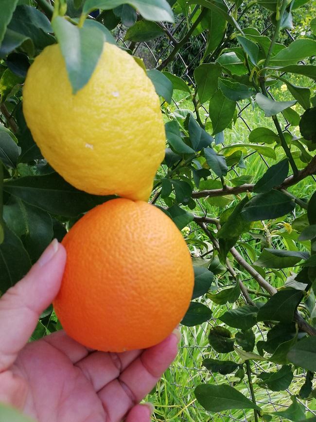 Σύγκριση των λεμονιών μας με πορτοκάλι εικόνα