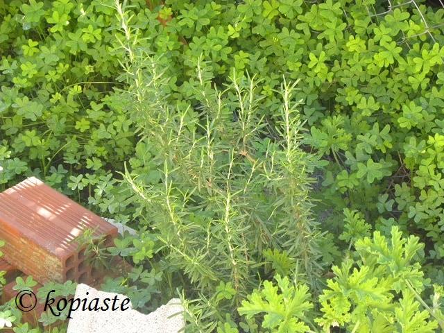rosemary and scented geranium