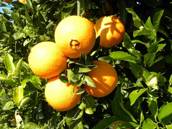 Πορτοκάλια στο δένδρο
