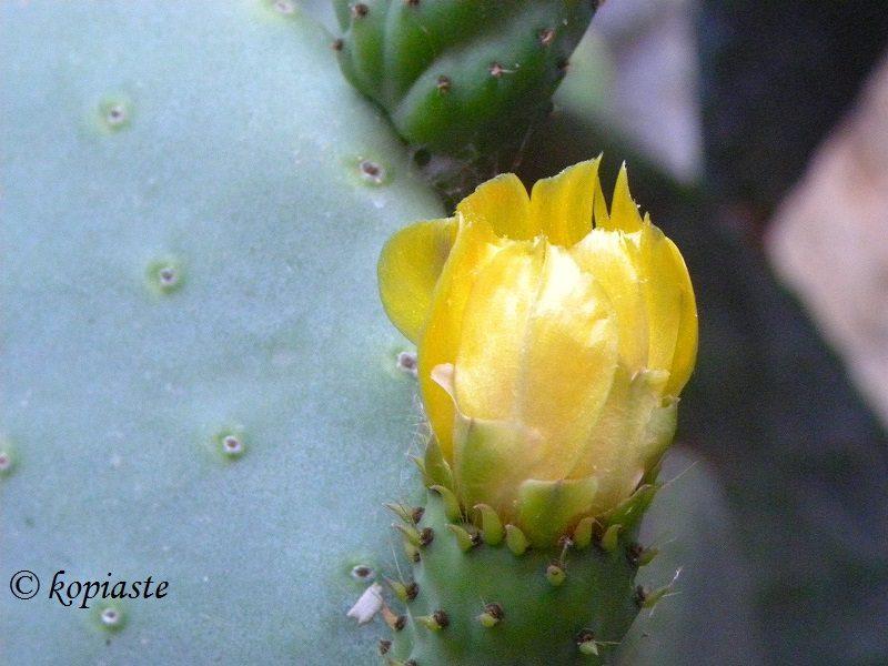 λουλούδι φραγκοσυκιάς