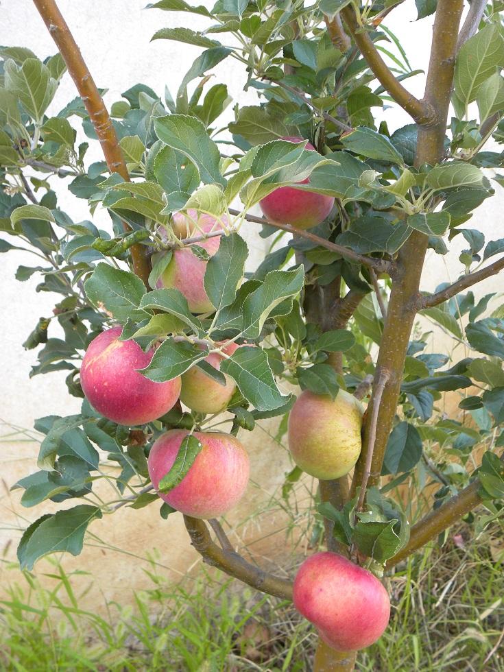η μηλιά μας το 2018 εικόνα